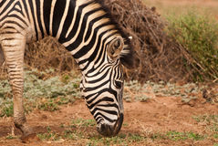 Primo piano della zebra Immagini Stock Libere da Diritti