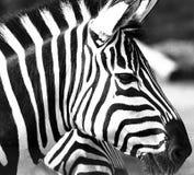 Primo piano della zebra Immagine Stock