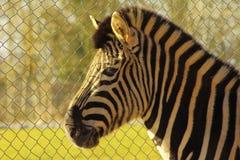 Primo piano della zebra Fotografia Stock