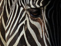 Primo piano della zebra Fotografie Stock Libere da Diritti