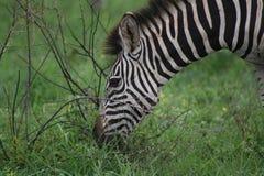 Primo piano della zebra che pasce e che listning Fotografie Stock Libere da Diritti