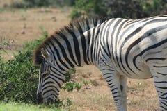 Primo piano della zebra del Burchell (burchellii del Equus) Fotografia Stock