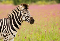 Primo piano della zebra di Burchells Fotografie Stock