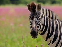 Primo piano della zebra di Burchells Immagini Stock