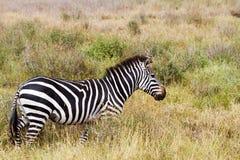 Primo piano della zebra nel parco nazionale di Serengeti, Tanzania Immagine Stock