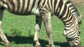 Primo piano della zebra nel pascolo archivi video