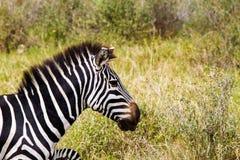 Primo piano della zebra in Serengeti, Tanzania Immagine Stock