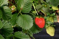 primo piano delle Agricoltura-fragole Fotografia Stock