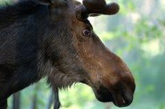 Primo piano delle alci del Bull Immagini Stock Libere da Diritti