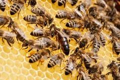 Primo piano delle api sul favo in alveare, arnia, fuoco selettivo fotografia stock