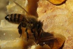 Primo piano delle api sul favo in arnia immagini stock libere da diritti