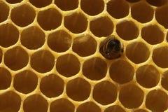 Primo piano delle api sul favo in arnia immagine stock