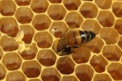 Primo piano delle api sul favo in arnia Fotografia Stock