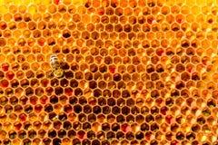 Primo piano delle api sul favo in arnia Immagini Stock