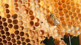Primo piano delle api sul favo in arnia stock footage