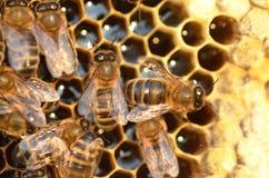 Primo piano delle api sul favo in arnia Fotografia Stock Libera da Diritti