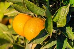 Primo piano delle arance che pendono da un albero immagine stock libera da diritti