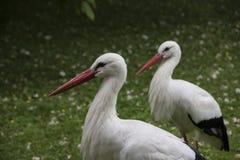 Primo piano delle cicogne bianche in parco nel prato Immagini Stock