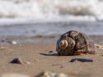 Primo piano delle coperture vuote di rapana su una spiaggia sabbiosa immagini stock