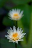 Primo piano delle coppie di loto bianco che galleggiano sull'acqua Fotografia Stock Libera da Diritti