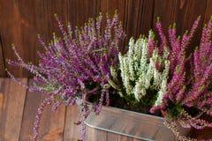 Primo piano delle eriche in un vaso da fiori del metallo Fotografie Stock Libere da Diritti