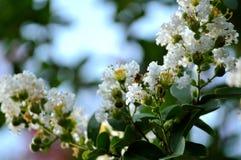 Primo piano delle fioriture bianche del mirto di crêpe Fotografia Stock Libera da Diritti