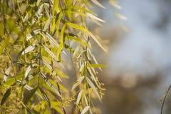 Primo piano delle foglie del salice fotografia stock libera da diritti