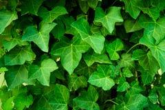 Primo piano delle foglie della pianta dell'edera Parete coperta dalla foglia Immagini Stock Libere da Diritti