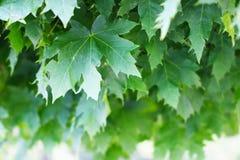 Primo piano delle foglie di acero Fotografie Stock