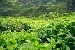 Primo piano delle foglie di tè e dei cespugli alla piantagione di tè Immagine Stock Libera da Diritti