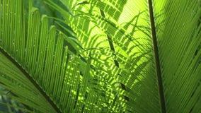 Primo piano delle foglie e del vento dei Cycads alla luce naturale archivi video