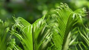 Primo piano delle foglie e del vento dei Cycads alla luce naturale video d archivio
