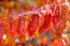 Primo piano delle foglie rosse dell'albero di acero dell'Amur fotografie stock