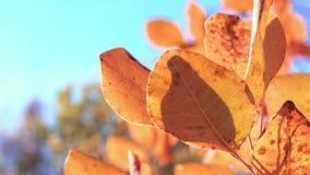 Primo piano delle foglie rosse dell'albero Foresta e cielo blu gialli di autunno nel fuoco molle sui precedenti Bello autunno stock footage
