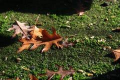 Primo piano delle foglie su muschio Fotografia Stock Libera da Diritti