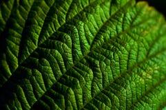 Primo piano delle foglie verdi Fotografia Stock Libera da Diritti