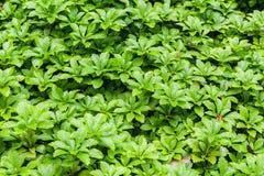 Primo piano delle foglie verdi del cespuglio Fotografia Stock