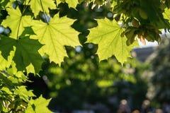 Primo piano delle foglie verdi un acero Immagine Stock