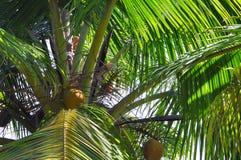 Primo piano delle fronde della palma di noce di cocco e delle noci, Fiji. Immagini Stock