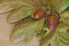 Primo piano delle ghiande con le foglie della quercia Immagine Stock Libera da Diritti