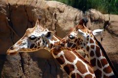 Primo piano delle giraffe Fotografie Stock