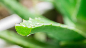Primo piano delle gocce di pioggia su aloe vera Fotografia Stock