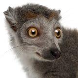 Primo piano delle lemure Crowned, coronatus di Eulemur, 2 anni immagini stock libere da diritti