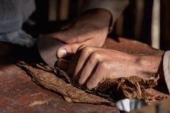 Primo piano delle mani avvolte dalle foglie asciutte del tabacco di vero sigaro cubano immagine stock