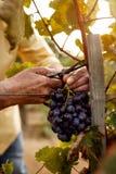 Primo piano delle mani degli agricoltori con l'uva blu Fotografie Stock Libere da Diritti