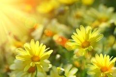 Primo piano delle margherite gialle con i raggi caldi Immagine Stock