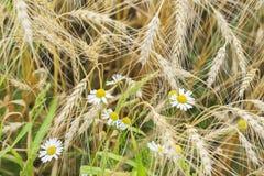 Primo piano delle margherite selvatiche in un campo su un'azienda agricola un giorno di estate soleggiato, insieme alle orecchie  Fotografia Stock