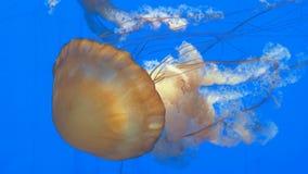 Primo piano delle meduse arancio giganti della medusa in acquario, fondo blu stock footage