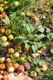 Primo piano delle mele cadute un giorno di estate soleggiato windfalls Fotografie Stock Libere da Diritti