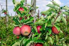 Primo piano delle mele rosse saporite pronte per raccogliere Fotografia Stock